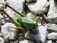 Giant Bush Cricket