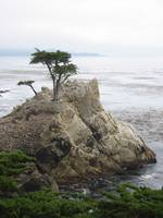 Cypress Tree on the 17 Mile Drive