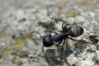 Yosemite National Park Ant