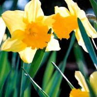First Daffodils Art Prints & Posters by John Baty