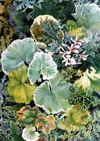Geraniums Galore image