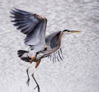 Heron: Jersey Shore, NJ