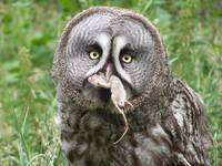 Great Grey Owl & Prey