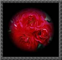 bunch redroses black boarder
