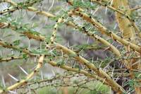 Acacia Tree Thorns