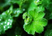 Lady's Mantle Leaves with Dew