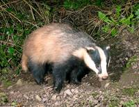 Badger in the garden