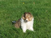 Sheltie pup in grass