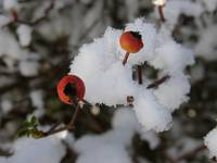 Snow on Rosehips