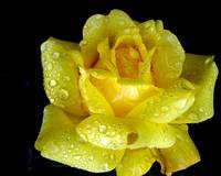 yellow rose of iceland