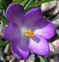 the neighbour crocus
