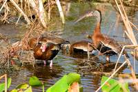 Blackbelly Whistling Ducks Feeding