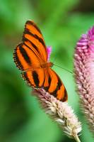 Banded Orange Butterfly I