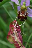 Small elephant hawkmoth(deilephila porcellus) and