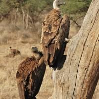 Whitebacked vulture, Samburu, Northern Kenya. Art Prints & Posters by global_nomad1