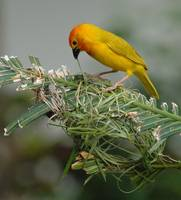 Golden Palm Weaver - Male (Ploceus bojeri)