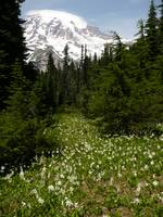Wildflowers of Mt. Rainer