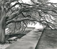 The Century Tree at Texas A&M