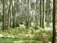 Trimbles Cypress Swamp