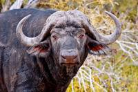 Muddy Cape Buffalo copy