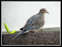 Second day of birding: 1.) Mourning dove