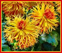 Dhalias of fire!