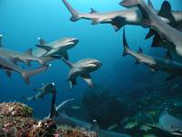 Whitetip Sharks