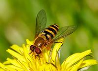 Hover Fly on a dandelion flower