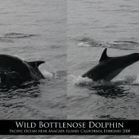 Wild Bottlenose Dolphin Jump by Eileen Ringwald