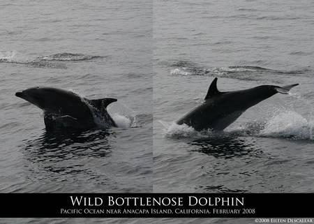 Wild Bottlenose Dolphin Jump