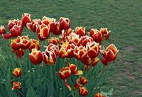 Tulips On A Spring Day