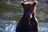Young Grizzly on the Russian River
