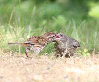 song sparrow feeding cowbird