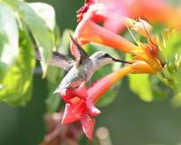 ruby throated hummer~girly resting on a flower eat