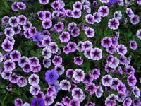 purple petunia fields forever!