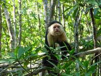 Capuchin Monkey, Damas Estuary, Costa Rica