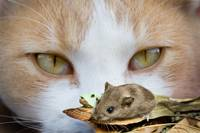 animal cat mouse_003