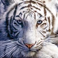 """white tiger"" by davidpenfound"