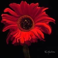 red gerberdaisy
