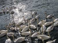 swans at Kingston-upon-Thames