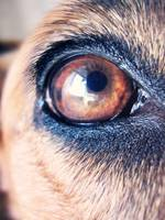 the doggy eye