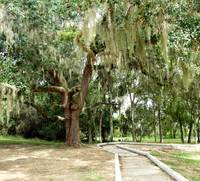 Tree Draped in Spanish Moss