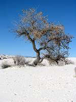 Cottonwood Tree in the Dunes