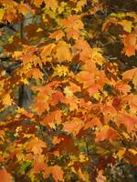 Fall Leaves I