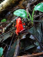 Poison Arrow Frog, Tortuguero National Park, Costa