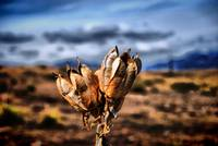 Yucca Pod on the Great Plains of Colorado