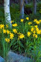 Lilies in the Wood