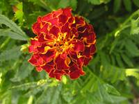 red marigold