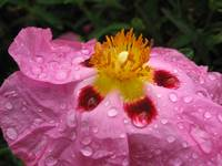 Pink Rock Rose after a Spring rain