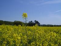 Field of Oil seed rape Nr Grantham Lincolnshire En